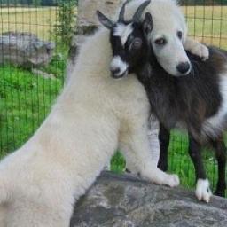 Te psy spotkały na swojej drodze kozy i... kompletnie się w nich zakochały ;) Zo