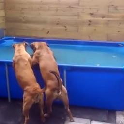 Kto powiedział, że psy nie myślą?! Tylko zobaczcie te dwa buldogi w akcji! Miały
