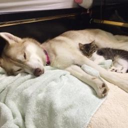 Husky zobaczył umierającego kotka. To, co zrobił, ściska za serce.