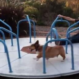 Gdy karuzela zaczęła się poruszać, pies dostał ataku głupawki. Padniecie ze śmie