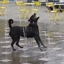 Spacerowali po Londynie, gdy nagle pies zobaczył fontannę i dostał ataku typowej