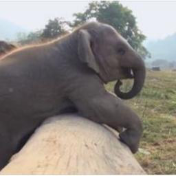 Słoniątko kontra powalony pień. Uśmiejecie się z tej walki! Koniecznie włączcie