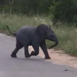 Słoniątko wybiegło na drogę, aby się pobawić z wyjątkowymi przyjaciółmi. Ciekawe