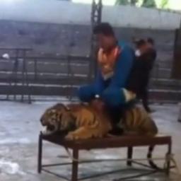 Mężczyzna usiadł na tygrysie, chwilę później miałam ochotę mu przywalić