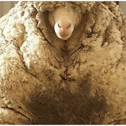 Ten strasznie wyglądający potwór to... milutka owieczka, która uciekła 5 lat tem