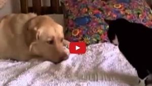 Ten pies zrobi wszystko by zaprzyjaźnić się z kotem. Jednak to co zrobił kot moc