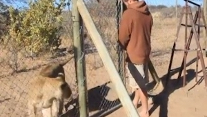 Facet otwiera klatkę z lwem. Nie zgadniesz co się stanie dalej.