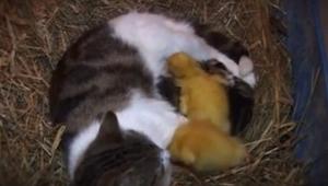 Kotka karmiła swoje młode, wtedy pojawiły się 3 kaczątka i stało się coś piękneg