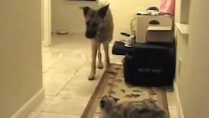 Ten pies chciał przejść do pokoju, jednak na jego drodze pojawił się kot