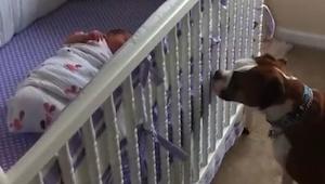 Rodzice noworodka bali się jak zareaguje ich bokser. Jednak nie spodziewali się