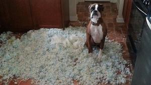 11 psów które same nie wiedzą jak bardzo nabroiły... Numer 6 jest świetny!
