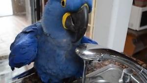 Ta papuga uwielbia się myć, jednak nie spodziewasz się co robi zanim się zanurzy