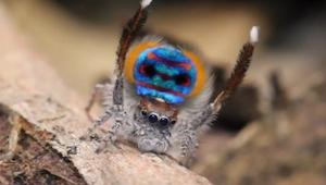 Z przodu ten pająk wygląda jak wiele innych, ale gdy tylko pokaże co ma z tyłu p