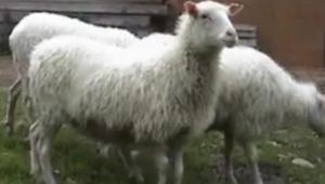 Gdy zobaczyłam przed czym uciekają te owce, nie mogłam przestać się śmiać!