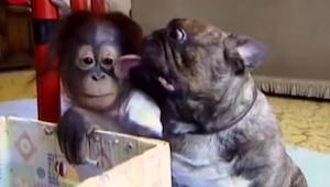 Zobacz jak osierocony orangutan i jego psi opiekun wymieniają pocałunki!