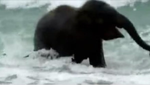 Słoniątko zakochało się w oceanie od pierwszego zanurzenia. Wyjątkowo urocze nag
