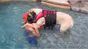 Wielki mastif uczy się pływać... Wygląda bardziej uroczo niż szczeniaczek!