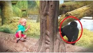 Dziecko zbliżyło się do szyby, a wtedy goryl zrobił coś niesamowitego! Takiej re