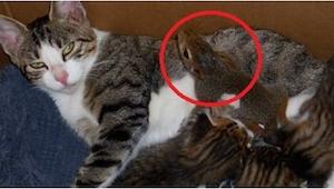 Coś tu chyba się nie zgadza... Kto wie, co to za zwierzątko przygarnęła kocia ma