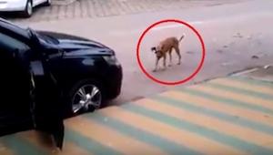 To, co zrobił ten pies, zadziwi Cię! A wszystko przez to, że kierowca tego samoc