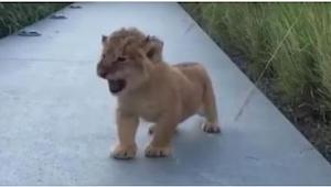 Malutki lew próbuje zaryczeć jakby był dużym lwem... Efekt jest przekomiczny!