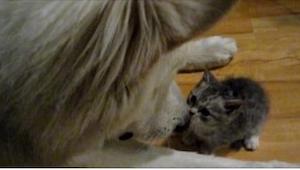 Groźny pies poznaje kotka... Jego reakcja jest bezcenna!