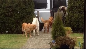 Gdy właścicielka tych psiaków wraca do domu, ustawiają się w jednej linii i robi