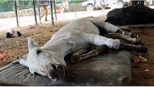 Ten biedny osioł nie zaznał niczego poza bólem, ale tylko zobaczcie, jak wygląda