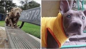 Niewidoma suczka rasy pit bull została porzucona w parku... I wtedy por raz pier