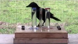 Wiedziałam, że wrony są sprytne, ale nawet nie sądziłam, że aż tak!