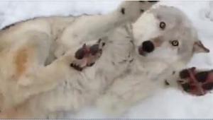 Ten wilk domaga się czegoś w najsłodszy sposób, jaki kiedykolwiek widziałam! Prz