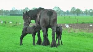 Wspaniała klacz belgijska urodziła dwa wyjątkowe źrebaki!