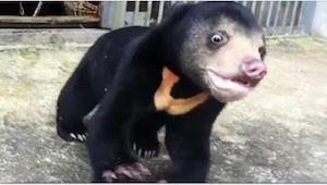 Niedźwiadek po traumatycznych przeżyciach szaleje z radości na widok nowego plac