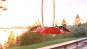 2 kolibry piją wodę, jednak 3 sekundy później... WOW!