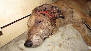 Ciężko ranny pies położył się na podłodze piwnicy by umrzeć, wtedy stał się cud.