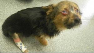 Ten szczeniaczek został uratowany po tym, jak został nafaszerowany narkotykami,
