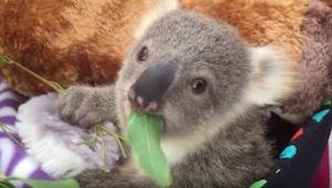 Koala dostała wymarzony prezent na święta! Urocze!