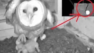 Kamera nagrała jak wąż zakradł się do gniazda sowy, zobacz jej reakcję!