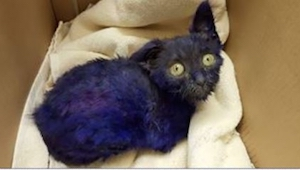 Fioletowy kot został uratowany po tym, jak służył za żywą zabawkę...