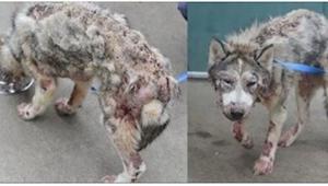 Bezpański i chory pies przeszedł niezwykłą metamorfozę, a wszystko za sprawą odr