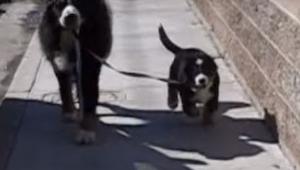 Nie spodziewali się tego w jaki sposób ich starszy pies przyjmie szczeniaka! Cud