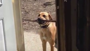 Pies chce wejść do domu niosąc patyk, to co stało się potem jest bardzo zabawne!