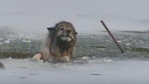 Uwięziony pies rozpaczliwie szczekał wzywając pomocy. Zobacz finał tej historii.