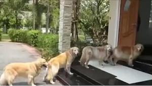 Cztery goldeny grzecznie stoją przed wejściem do domu i nie wejdą do środka, dop