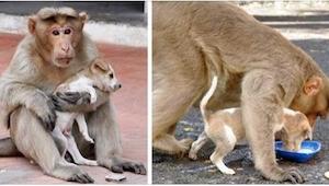 Małpa uratowała szczeniaczka przed atakiem psów, a potem zrobiła coś jeszcze bar