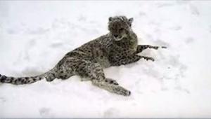 Nie zgadniecie, z kim się bawi ten młody gepard! To dosyć zaskakujące...