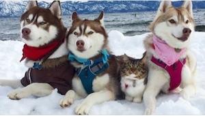 Powód dla którego ten kot siedzi z psami jest bardzo niezwykły!