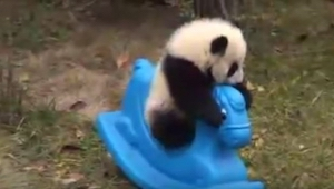 Panda wdrapała się na bujanego konika. To, co zrobiła potem, jest urocze!