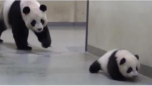 Mała panda nie chciała iść spać... Wtedy do akcji wkroczyła jej mama! Zobaczcie,