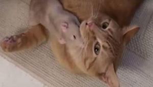 Szczur podszedł do kota, gdy zobaczyłam co stało się potem byłam zaskoczona!